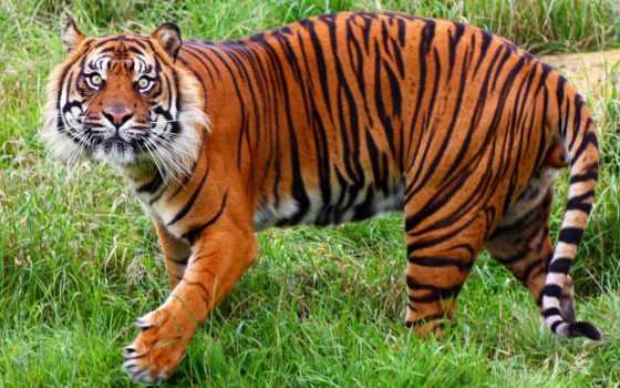 тигр, дикой, тигров
