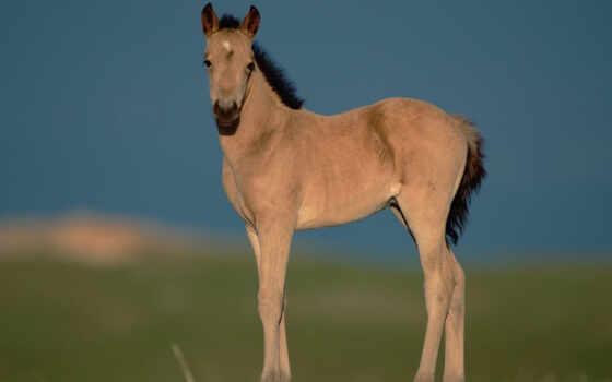 картинка, следующая, животные, watchful, cu, cái, жеребенок, horses,
