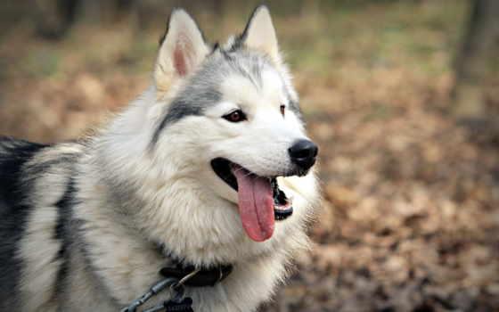 хаски, язык, собака, собаки, alaskan, malamute, друг, собак,