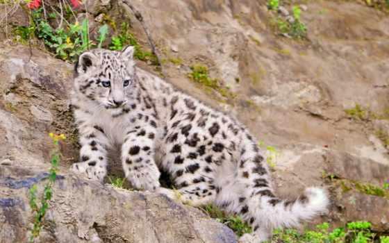 красивые, леопард, zhivotnye, снег, горы, ирбис, животных, барса, снежного, фотографий,