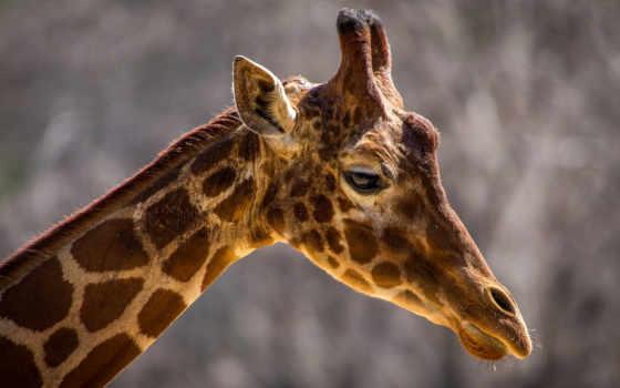 profile, морда, пятна, жираф, шея,