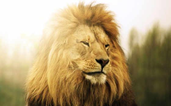 страница, lion, хищник, морда, грива, молодой, львица, грозный, львенок,