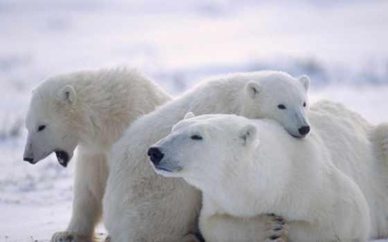 белые, медведи, медведь