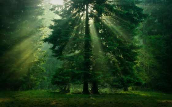 хвойные, trees, туман, растения, снег, лес, осень, природа, ветки, шишки,