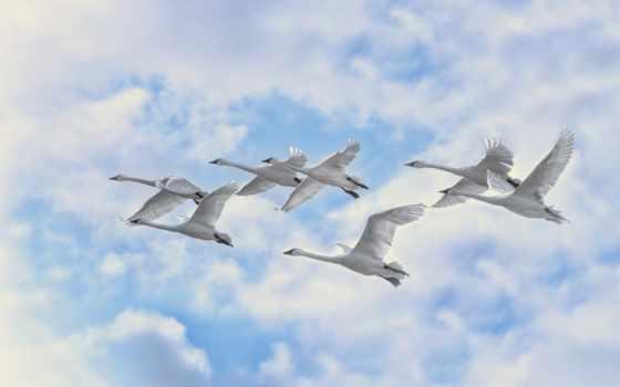 птицы, лебеди, белые, небе, белых, небо, овцы, полет, птиц, oblaka, youtube,