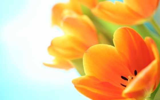 цветы, тюльпаны, большие, букет, макро, оранжевые, весна,