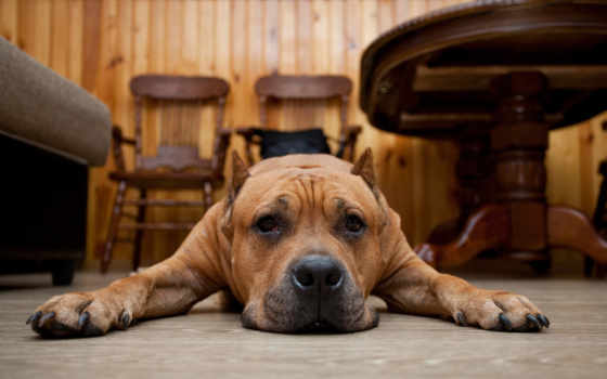 zhivotnye, собака, морда, полу, vzglyad, que, лежат, perro, pes,