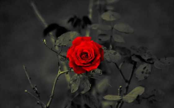 цветы, обоях, роза