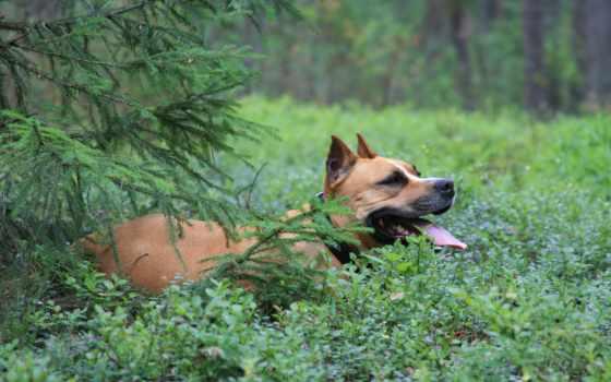 бультерьер, стаффордширский, стаффорд, собаки, картинка, американский, прогулке, природа, лесу, фото,