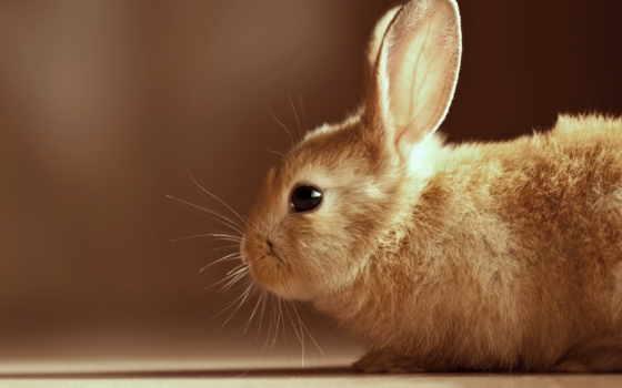 zhivotnye, шерсть, living, world, кролик, глазки, other, категории, bunny,