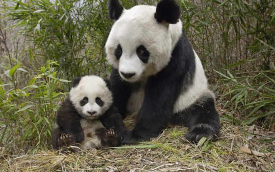книги, животных, красной, панда, zhivotnye, красную, книгу, animal, красная, китая, году,
