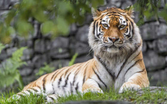 animals, тигр, desktop, tigers, birds,
