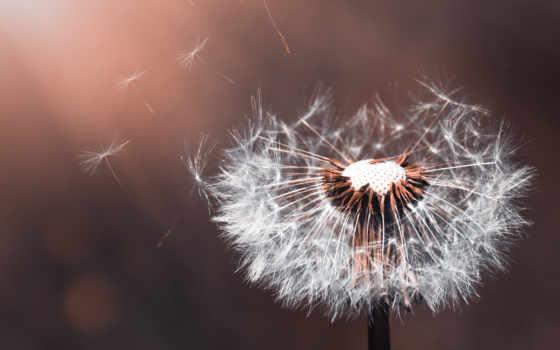 ,, цветок, одуванчик, закрыть, макросъемка, завод,  цветковое растение, весна, still life photography,