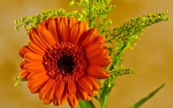 гербера, цветы