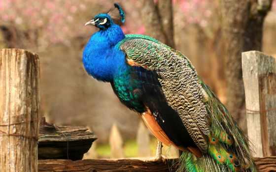 дневник, поспорить, могут, красотой, кб, настоящему, частности, птицы, вообще, животные, другие, павлина, правда, темы, virtual, животных, красив, небольшое, изящностью,