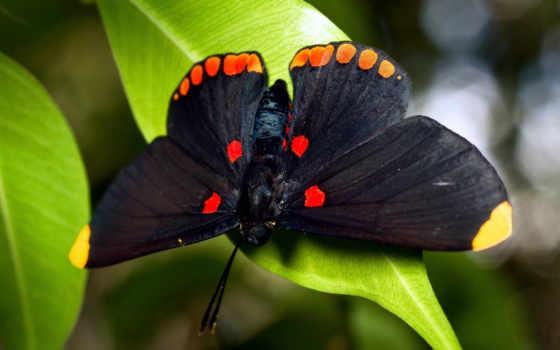 бабочка, бабочки, черная