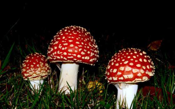 природа, янв, мухомор, грибы,