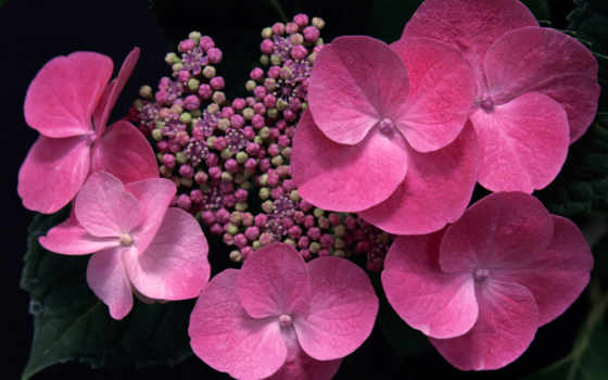 цветы, гортензия, макро