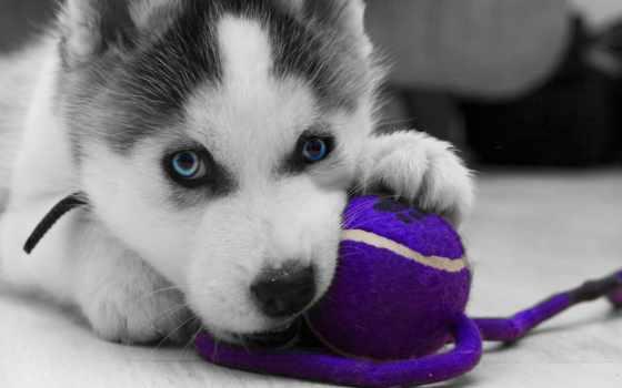 хаски, video, страница, просмотра, huskies, online, baby, siberian,