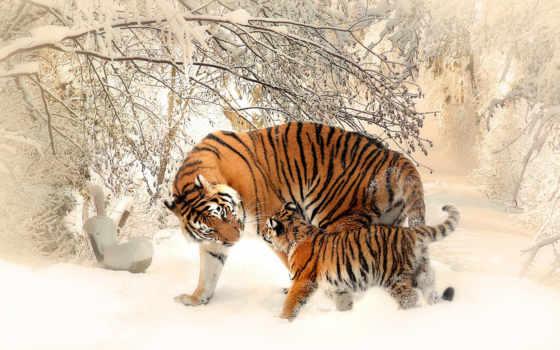 Обои для рабочего стола тигр зима
