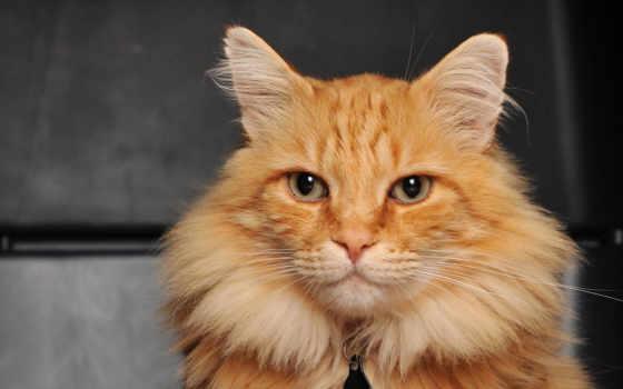 кот, голубыми, глазами, red, коты, красивые, кота, качественные, кошек,