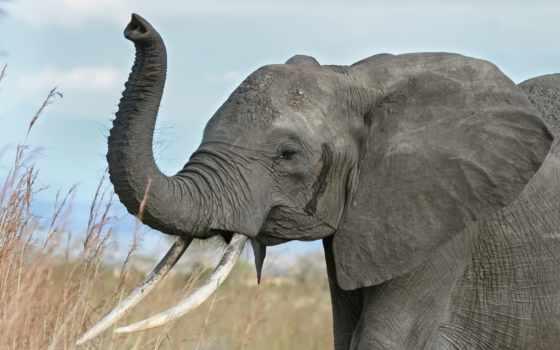 животных, african, слоны