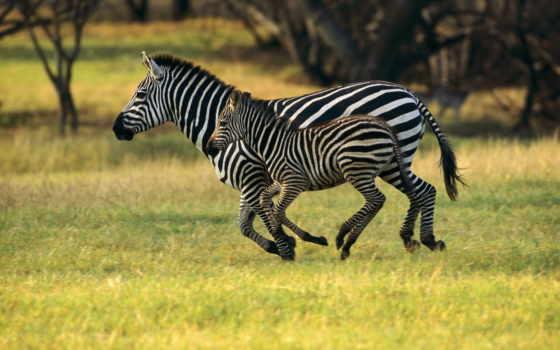 зебры, zhivotnye, зебр, животных, стадные, zebra, яndex, их, снимки, красивые, существует,