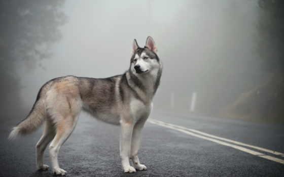 пес хаски