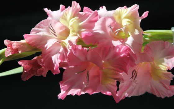 гладиолусы, цветы, розовый