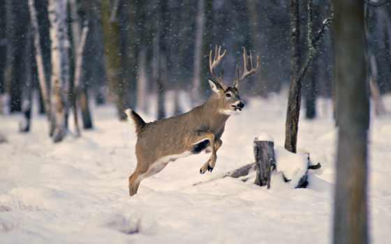 лань, winter, зимой, zhivotnye, снег, лес, олени, совершенно, категория,