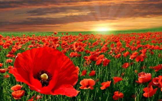 природа, маки, cvety, поле, закат,