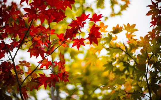 fondos, pantalla, naturaleza, otoño, hojas, paisaje, escritorio, arce, fondo,