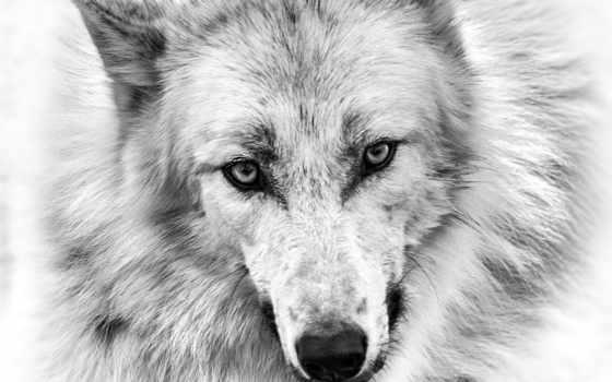 волк, art, wolves