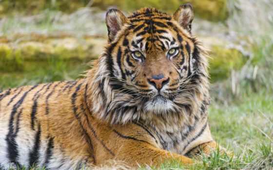 тигр, sumatran, сиамский, тигры, коллекции, яndex, коллекциях, дикийкот, fish,
