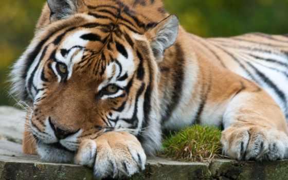 тигр, super