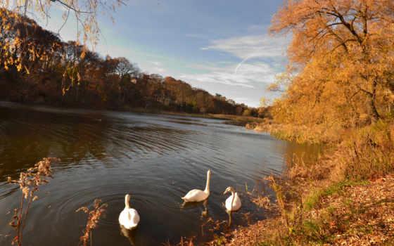 осень, лебеди, trees, landscape, озеро, птицы, картины, листва, постеры,
