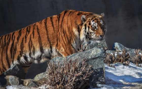 олег, богдан, тигр, professional, город, россия, country, природа, фотограф, челябинск, amur