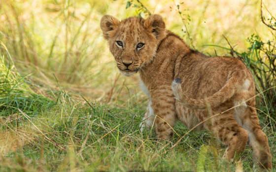 кот, animal, wild, baby, lion, детёныш, id, животные, cover, биг