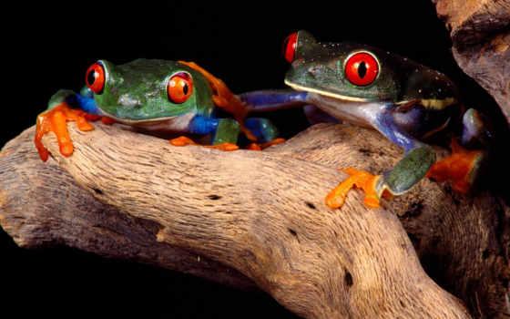 frogs, две