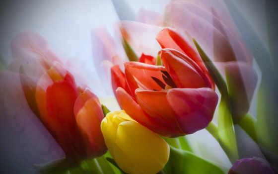 качестве, тюльпаны, блог