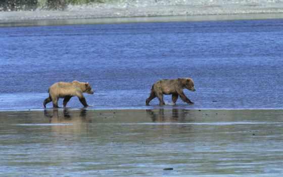 медведи на реке