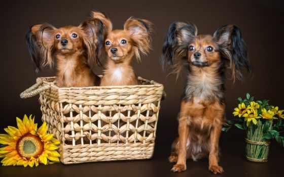 собаки, цветы, бультерьер, той, zhivotnye, корзина, картинка, страница, possible, подсолнух, anime,