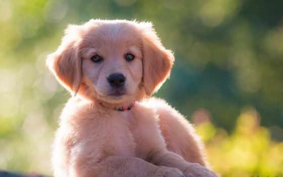 retriever, золотистый, щенок, zhivotnye, взгляд, собака,