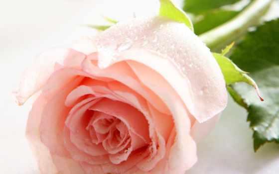 красивые, высокого, коллекция, разрешения, розы, февр, супер, открытки, качества, goodman,