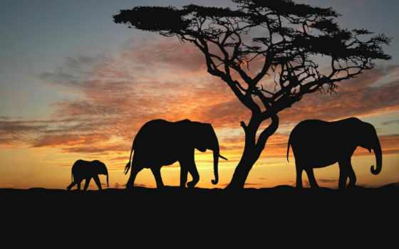 слоны, закате, zhivotnye