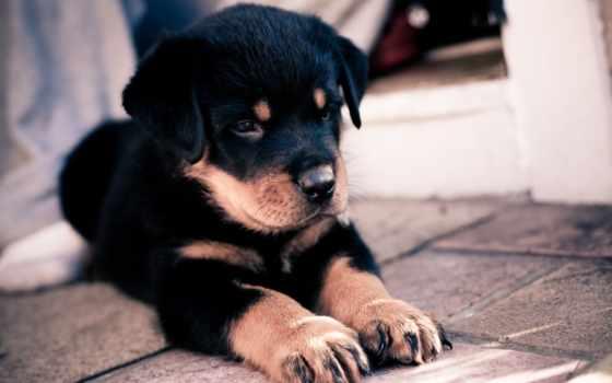rottweiler, щенок, ротвейлера, zernukov, собака, zhivotnye, картинка, яndex,