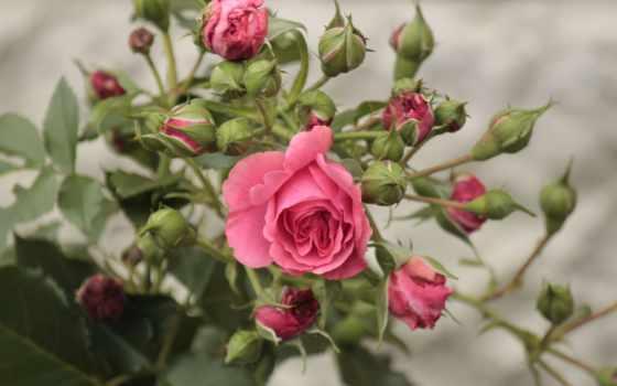 postcard, роза, cvety, цветы, туземец, друзей, красивый
