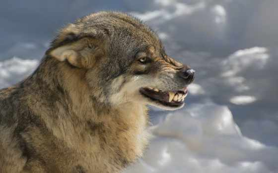 волк, оскал, зверь, хищник, животные,
