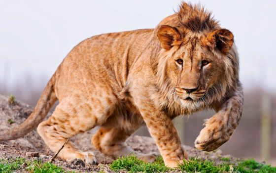 lion, молодой, лапы, грива, animal, трава, ушки, хищник,