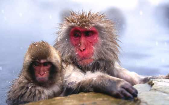 zhivotnye, замерзшие, обезьяны